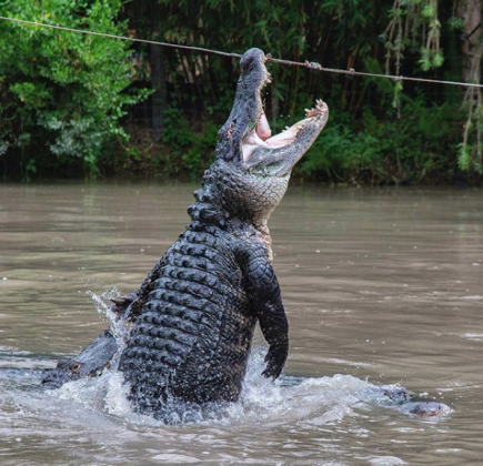 Gator jump. PHOTO/WILD FLORIDA
