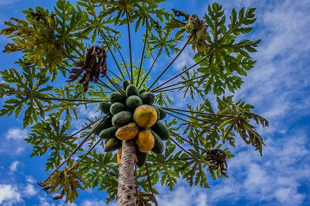 The papaya sap is dried and used in medicine for things like wound salve, and is also used in beauty products, brewing beer and making cheese.