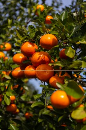 Florida citrus is harvested October through June